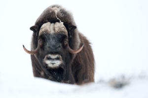 Musk Ox in Winter, Dovrefjell NP, Norway