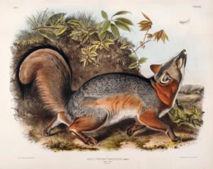 Grey-Fox-(Canis-[Vulpes]-Virginianus)