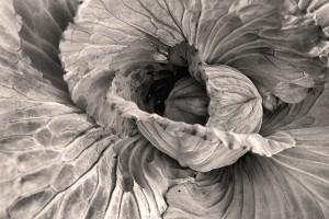 Cabbage #7