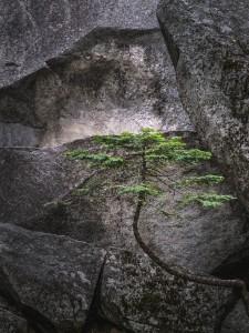 Yosemite Pine